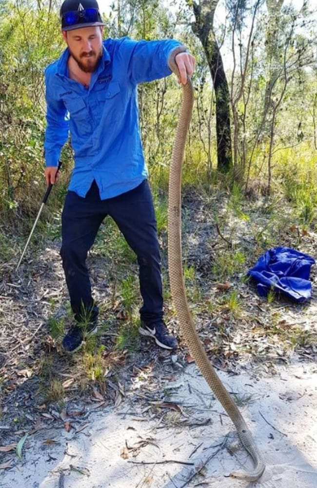 'Thick and healthy'. Picture: Sunshine Coast Snake Catchers 24/7