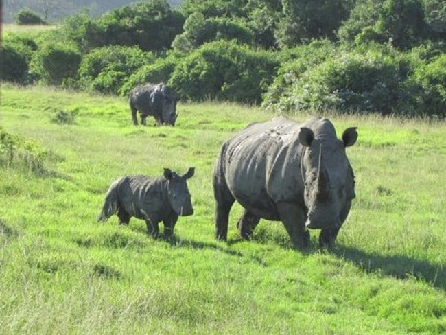 A group of poachers reportedly tried to kill rhinos at a game reserve in South Africa. Picture: Sibuya Game Reserve