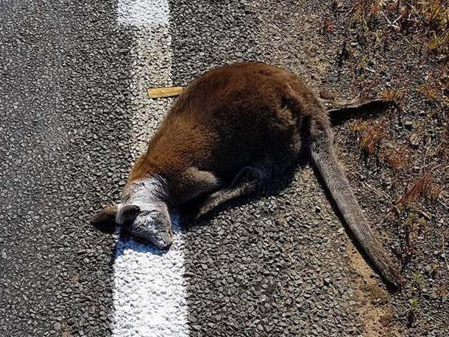 Roadkill painted over during line marking on the Arthur Highway, Copping.