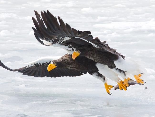 Takeaway dinner for two for this duo of Steller's sea eagles. Picture: Konstantin Shatenev/Wildlife Photographer of the Year/Natural History Museum
