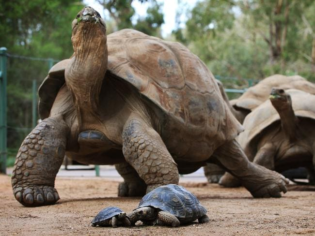 Galapagos Tortoise - The Houston Zoo |Galapagos Tortoise