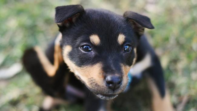 Sydney Dogs And Cats Home Job Pays 500 To Play With Puppies