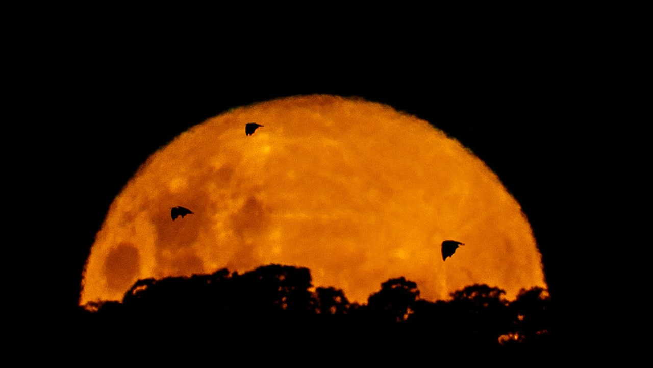 Bats fly in front of the moon in the Adelaide Hills, South Australia. Scientists involved in the Chinese project say the glow of the fake moon won't disturb animals. Picture: Matt Turner