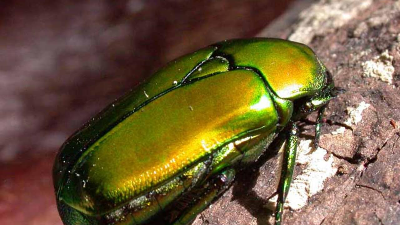 Christmas Beetle.Christmas Beetles Do We Have Any In Darwin Nt News
