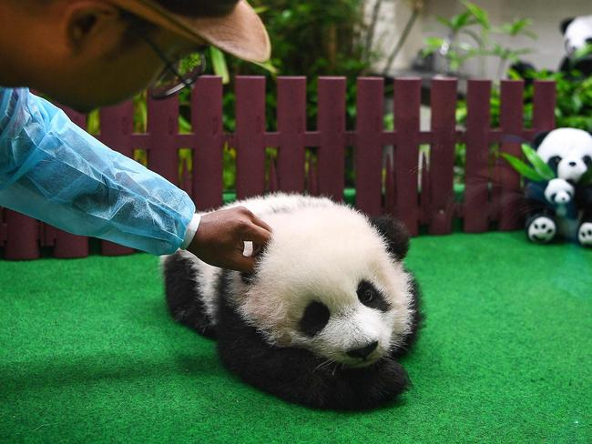 She's the second offspring of parents Liang Liang and Xing Xing who are on loan to Malaysia Zoo from China. Picture: AFP