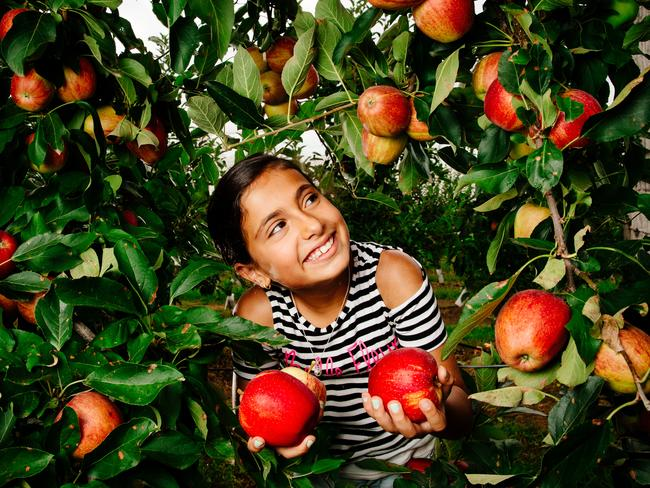 Sahara Daoud, 9, picking her own apples at Bilpin Fruit Bowl. Picture: Jonathan Ng