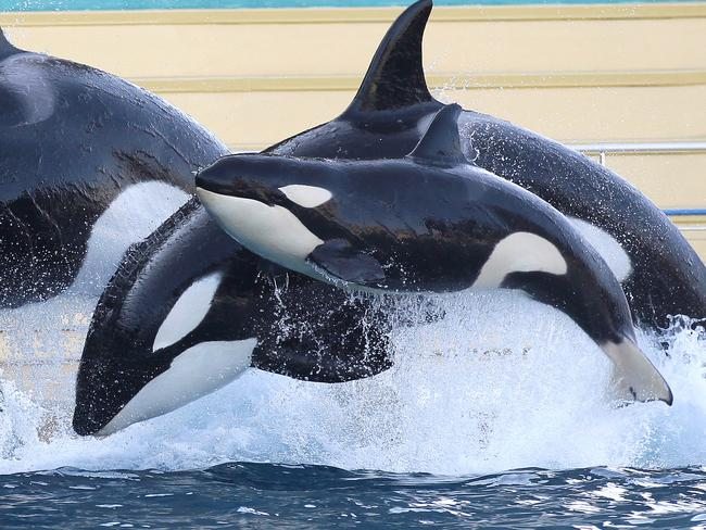 Wikie and her then-calf Moana, pictured at a marine park in France in 2012. Picture: AP/Lionel Cironneau