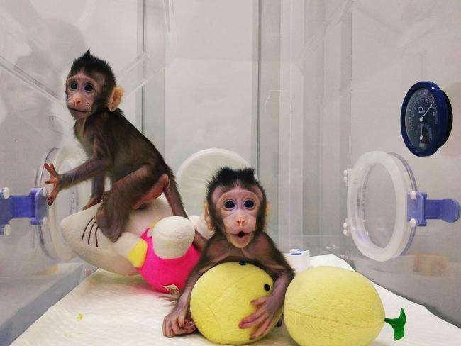 Monkey clones 'Zhong Zhong' and 'Hua Hua' at a research institution in Suzhou in China's Jiangsu province. Picture: Sun Qiang and Poo Muming/Chinese Academy of Sciences