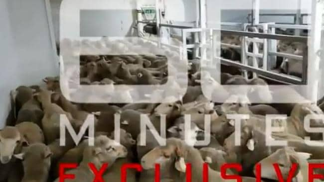 Cramped in pens, panting and dehydrated, many sheep died where they stood. Picture: 60 Minutes