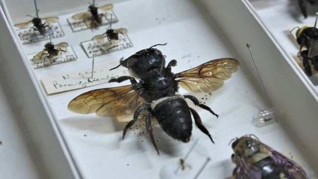 The giant bee was rediscovered in Indonesia. Picture: Twitter.