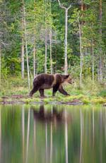 European Brown Bear, Finland. Picture: Will Burrard Lucas/topwilldlifesites.com