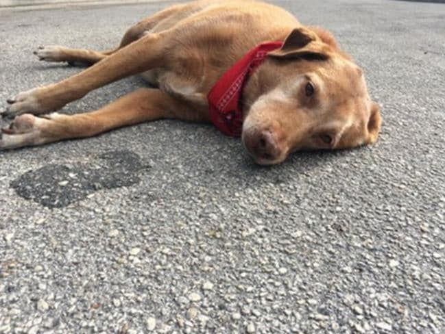 Sad ... Paco lays motionless on the road following the death of his owner, Kelly Black. Picture: Twitter