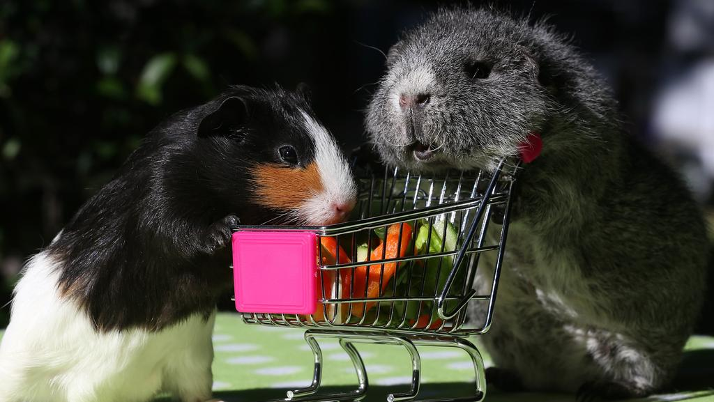 These Gold Coast Guinea Pigs Need A New Home And You Could Help Gold Coast Bulletin
