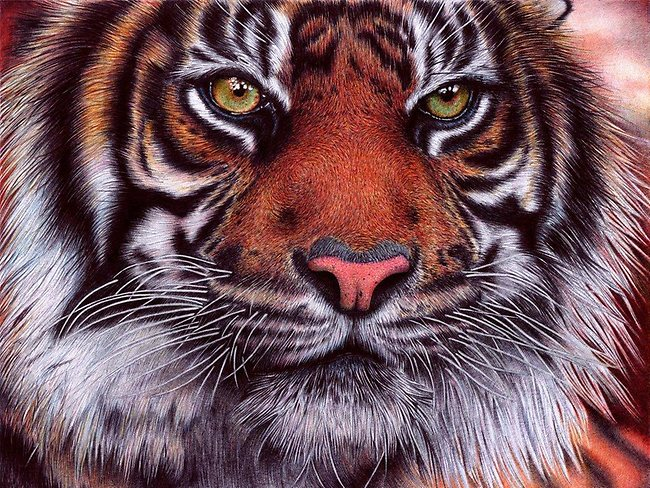 """""""I always wanted to draw a tiger, I love felines and decided to draw my first tiger ever, I hope you like it. This one is wild, that's why i love it. Big felines are not meant for zoos."""" Tiger - Bic Ballpoint Pen took Silva 20 hours to finish, the original is about 90 per cent of an A4 paper sheet."""