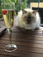 Allycat (Ally) is a 13-year-old Layanese. She is a sassy cat that definitely 'owns' her owners. The Vandenberg family adore her. Picture: Cherie