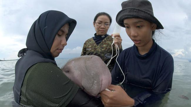 The 5-month-old female dugong is being nurtured by marine experts in hopes that it can one day fend for itself. Picture: Sirachai Arunrugstichai via AP