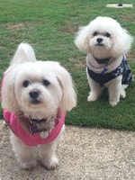 Christine Kennell's Bella and Max. Puppy Power List. RBH
