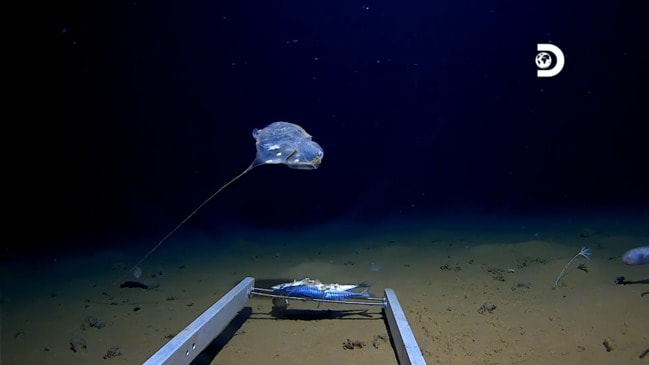 New Species of Jellyfish spotted in Java Trench by the Five Deeps Expedition