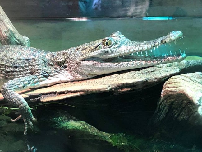 Jaws Junior was stolen along with two pythons. Picture: Canberra Reptile Zoo/Facebook