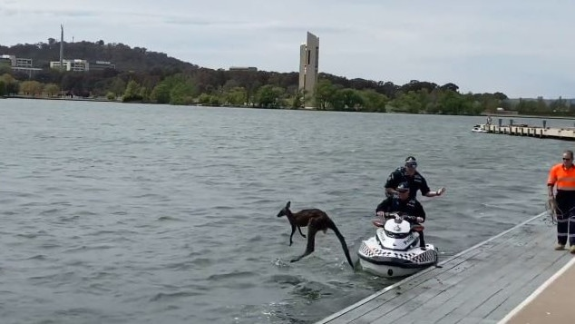 The kangaroo leapt from the shore after it was rescued by jet ski police. Picture: Reddit