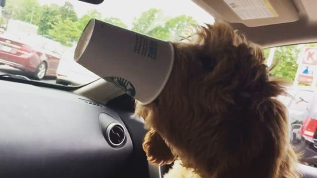 Doggy Guzzles Down His First Puppuccino. Credit - Emily Kutner via Storyful