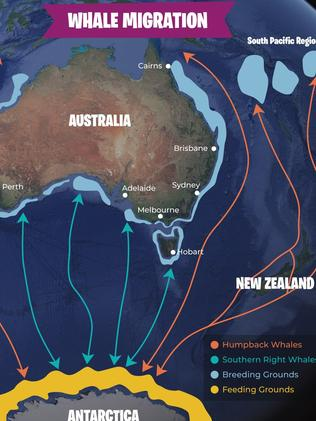 Migaloo's migration route. Picture: Twitter @Sailonline.org