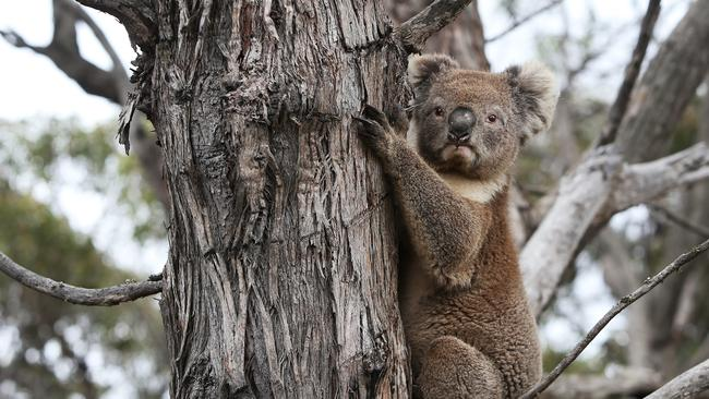 Extinction fears are mounting for koalas after recent bushfires. Picture: Lisa Maree Williams/Getty Images