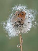 Image Name: I can see you Photographer Name: Nigel Hodson This is a photograph of a harvest mouse hiding in a dandelion head. This was taken in Wales this Spring. Picture: Nigel Hodson, United Kingdom, Commended, Open, Wildlife (Open competition), 2018 Sony World Photography Awards