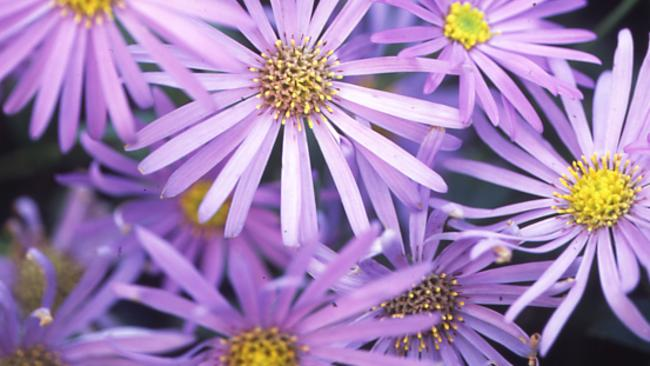Peter cundall dig out flowering perennials to divide them the star dividers asters are another perennial to benefit by dividing every other year picture mightylinksfo