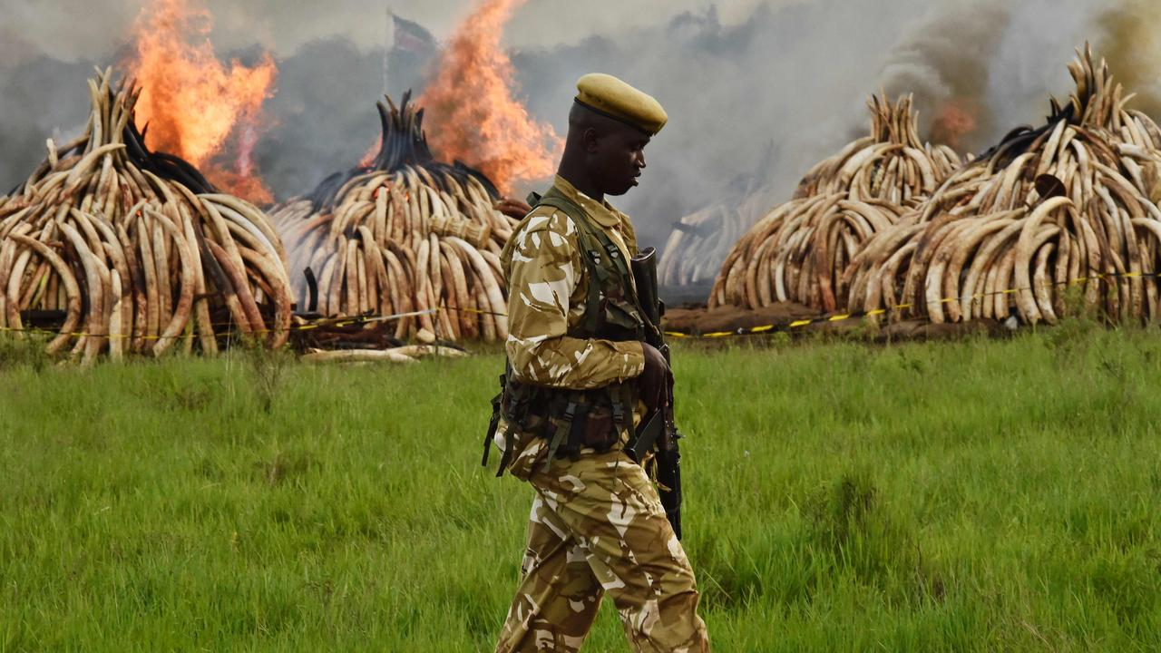 A Kenya Wildlife Services ranger stands guard around illegal piles of burning elephant tusks, ivory figurines and rhinoceros horns at the Nairobi National Park. Kenyan President Uhuru Kenyatta set fire to the piles on April 30, 2016 after demanding a total ban on trade in tusks and horns. Picture: AFP