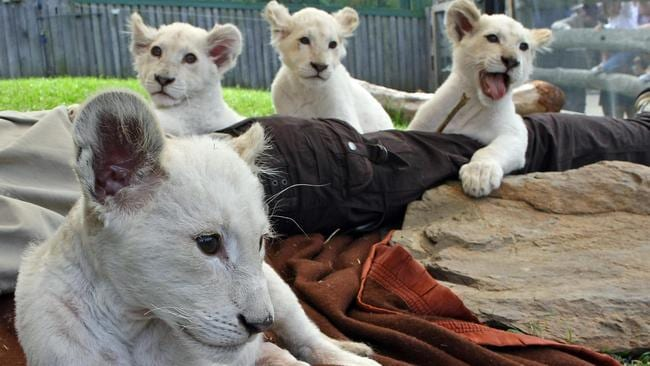 White lion cubs with leucism. Picture: AFP