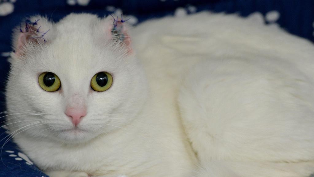 Lort Smith Vet Urges Pet Owners To Keep White Cats Out Of Sun Leader