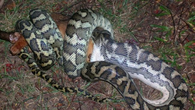 Fears For Pet Safety As Pythons Continue Hunt For Food In