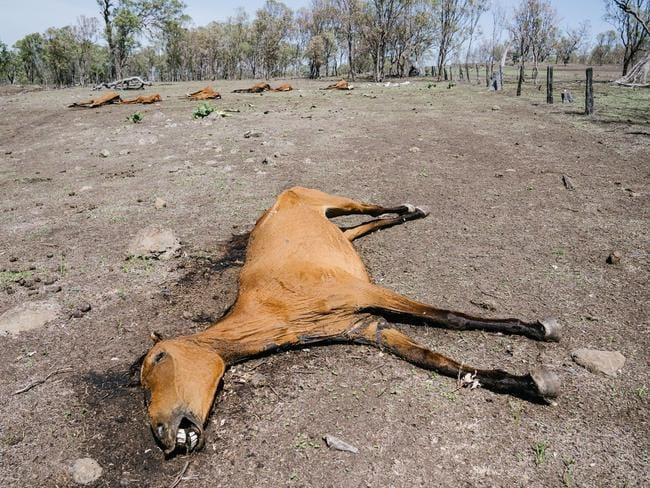 One of the dead horses in Toowoomba. Picture: Animal Liberation Queensland