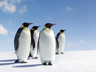 Emperor Penguins in Antarctica
