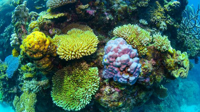 Beautiful colourful coral like this is under threat from bleaching on the Great Barrier Reef. Picture: Citizens of the Great Barrier Reef
