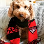Henry the three-year-old cavoodle is a Bombers fan and his owner says he graces three computer screens at work! Picture: Melissa Lombardo, Hadfield