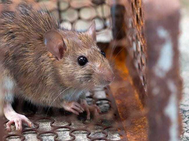 Rats are associated with the disease leptospirosis.