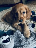 Henry the Cocker Spaniel. Photo Jaimi-Lee Goldsworthy