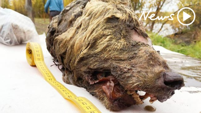 Giant severed Ice Age wolf's head discovered in Siberian permafrost