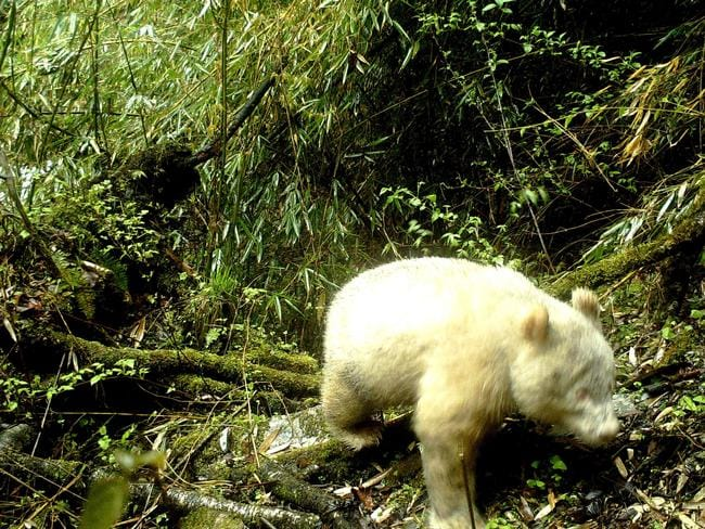 This handout photograph taken on April 20, 2019 and released by the Wolong National Nature Reserve on May 26, 2019 shows a rare all-white giant panda in the Wolong National Nature Reserve in Wenchuan County, southwest China's Sichuan province.