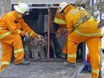 Dogs from the Tea Tree Gully Boarding Kennel and Cattery are comforted by CFS vollunteers after being helped into a waiting horse float for evacuation. Picture: Dylan Coker