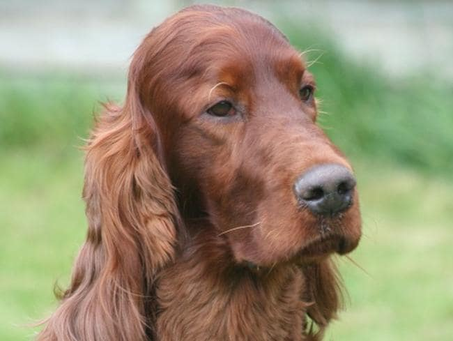 Irish Red Setter Jagger died after eating tainted meat at a renowned dog show in the UK. But is it the work of a serial poisoner? Picture: AP Photo/Oakdene.Be.
