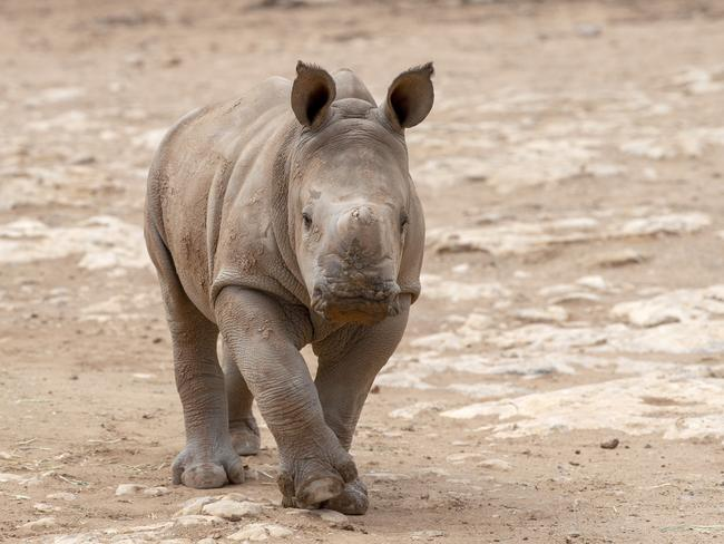 Imani died at the Monarto Safari Park on Monday. Picture: Monarto Safari Park