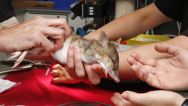 Eastern Barred Bandicoot baby gets a vet check at Melbourne Zoo. Head vet Michael Lynch hands the bandicoot over to nursing staff to be returned to its exhibit. Picture: David Caird