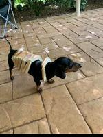 This is Paul the miniature sausage dog. Sometimes he likes to be in bread, of course -Jonathan Robson