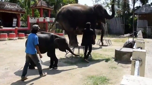 Shocking footage of 'Skeletal' baby elephant forced to head bang (Source: movinganimals.org)