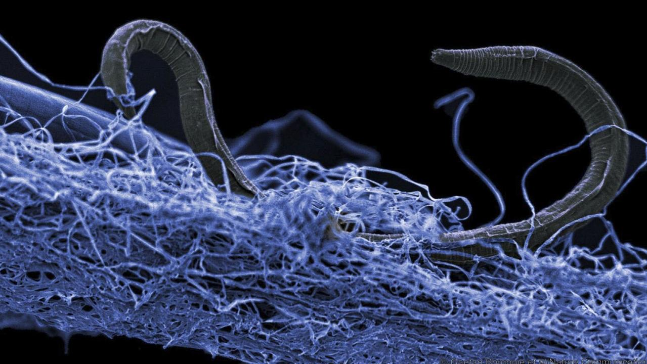 Deep Carbon Observatory image of a microorganism called a nematode sitting in a cluster of other microorganisms found 1.4km below ground in South Africa. Picture: AFP/Gaetan Borgonie
