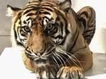 Supplied Editorial Topeka Tiger