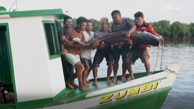 The revival of the Pirarucu, one of world's largest freshwater fish